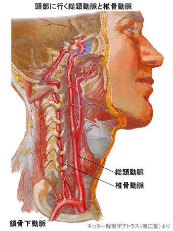 頭部に行く総頚動脈と椎骨動脈