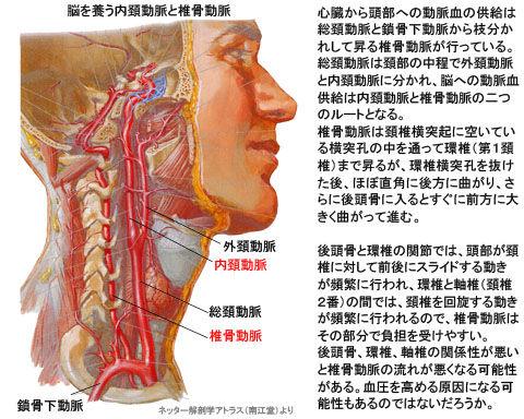 脳を養う内頚動脈と椎骨動脈