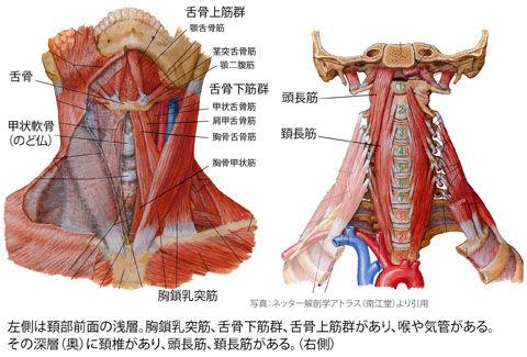 頚部前面と椎前筋