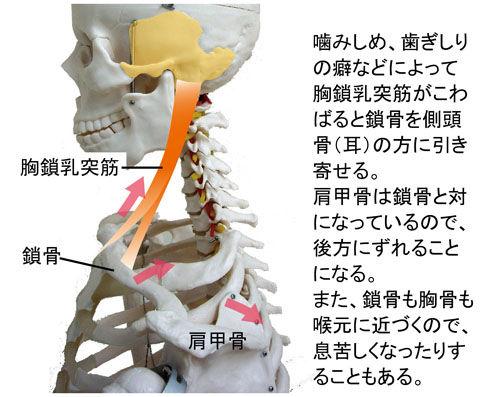 胸鎖乳突筋と肩甲骨の関係