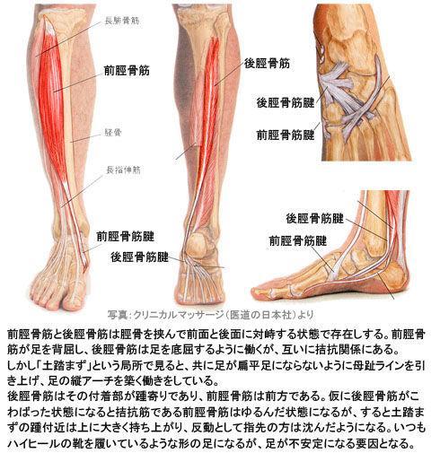 前脛骨筋と後脛骨筋の拮抗関係