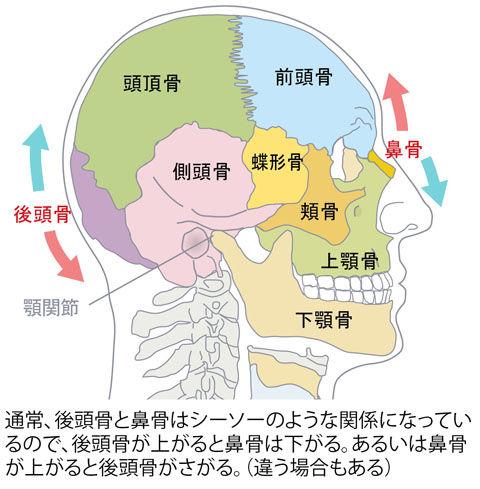 後頭骨と鼻骨の関係性