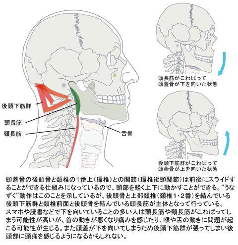 頭長筋と後頭下筋群の関係