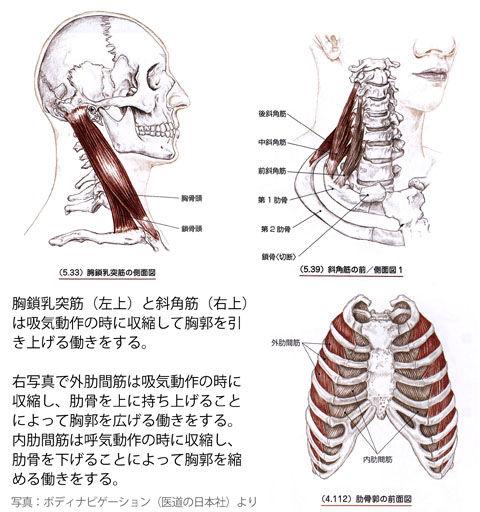 呼吸における胸乳・斜角・肋間筋