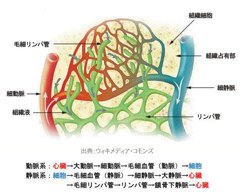 細胞内の動脈・静脈・リンパ