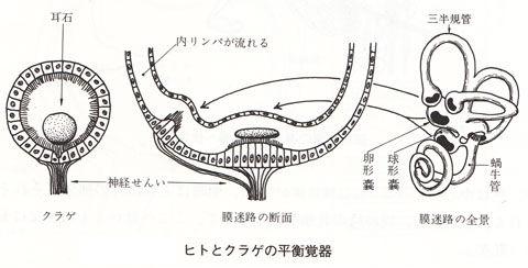 ヒトとクラゲの平衡覚器