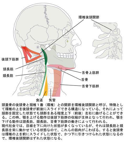 環椎後頭関節とその動きに関わる筋肉