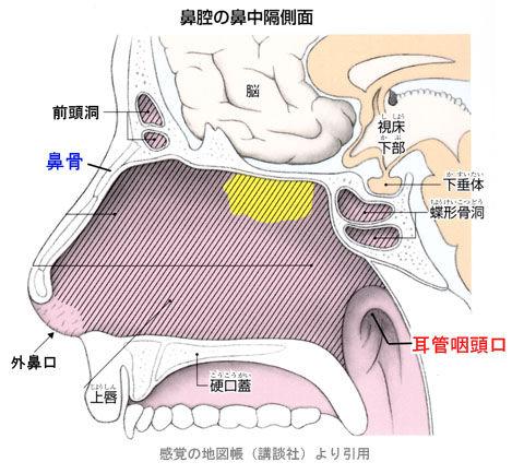 鼻腔の鼻中隔側面