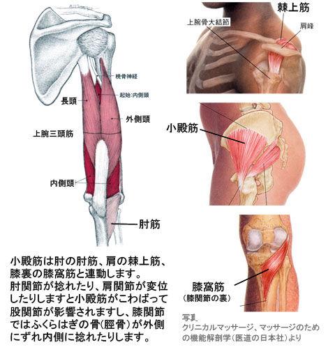 小殿筋と連動する肘筋・棘上筋・膝窩筋