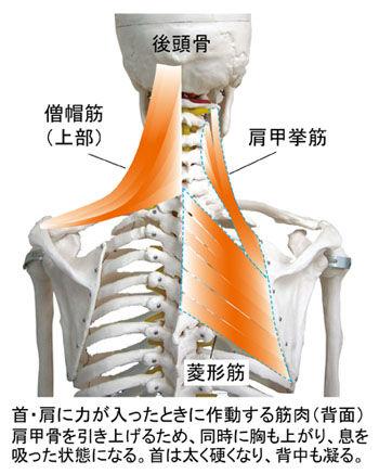 肩に力が入ったとき作動する筋(背面)