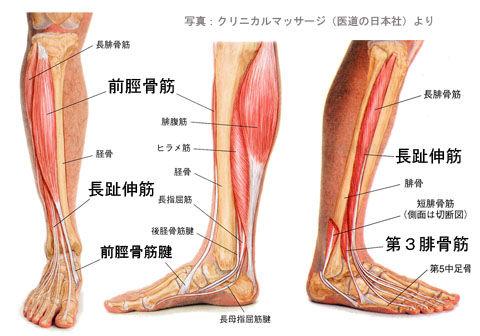 前脛骨筋と第3腓骨筋02