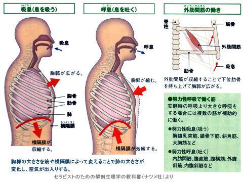 呼吸時における外肋間筋と横隔膜の動き