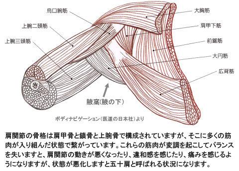 肩関節(腋窩)の筋肉