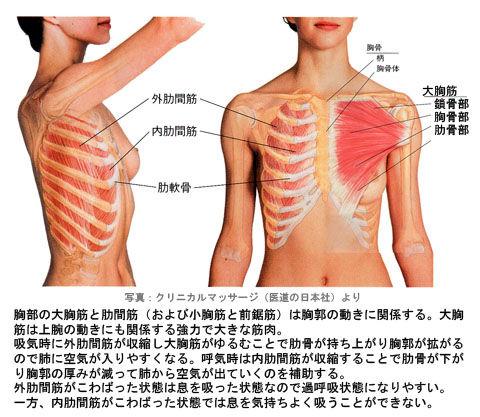大胸筋と肋間筋