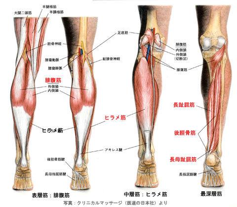 下腿と足の筋肉_背面