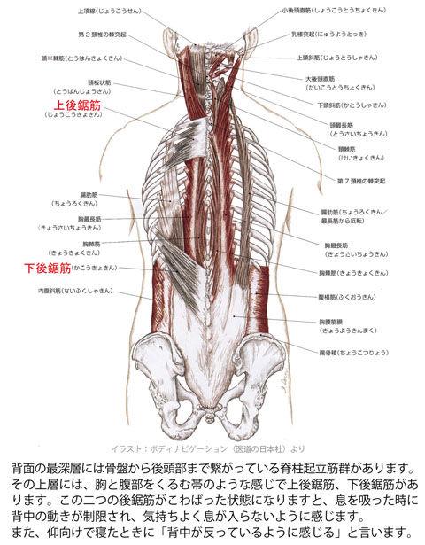 後鋸筋と脊柱起立筋