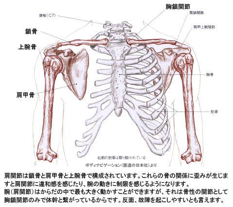 肩関節の骨格
