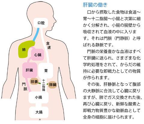 肝臓の働き2