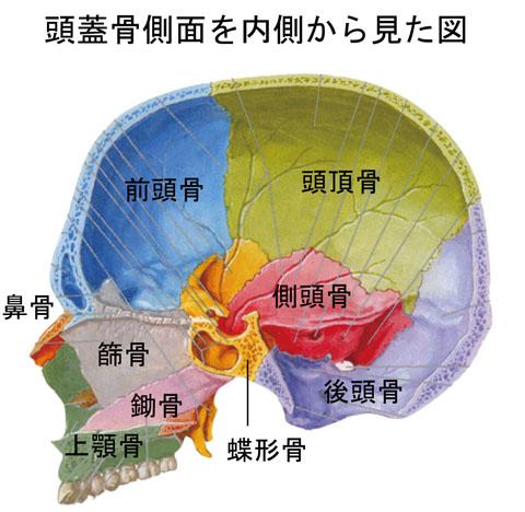 頭蓋骨内部側面