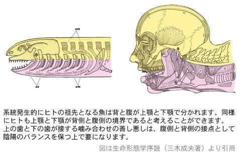 腹側と背側の境(噛み合わせ)