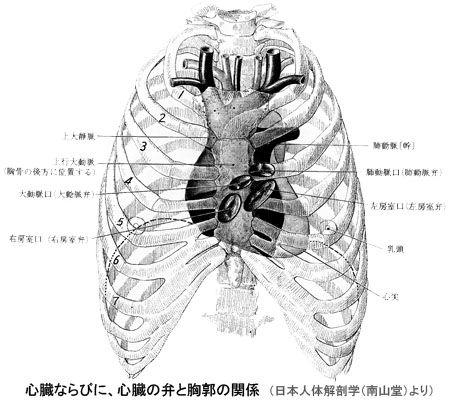 心臓と胸郭の関係