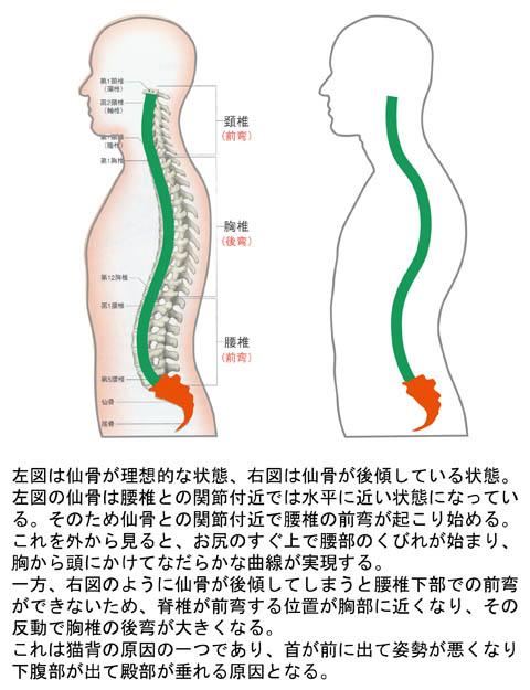 仙骨の角度と脊椎の状態