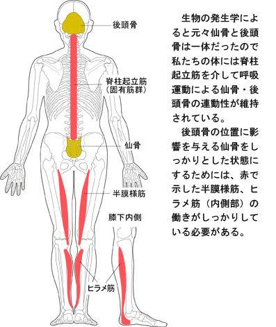 ヒラメ筋内側と仙骨・後頭骨