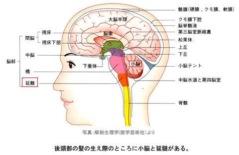小脳と延髄