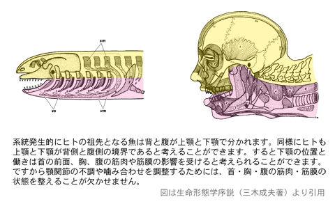 腹側と背側の境(上顎と下顎)