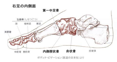 足骨格内側面