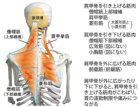 首の運動制限に関わる筋01