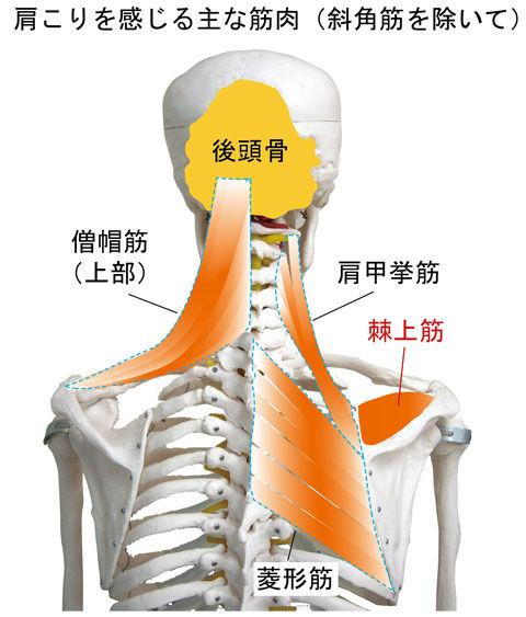 肩こりを感じる主な筋肉
