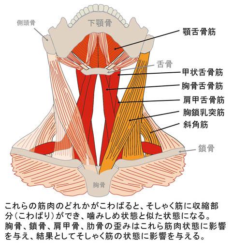 そしゃく筋に影響を及ぼす頚部の筋肉