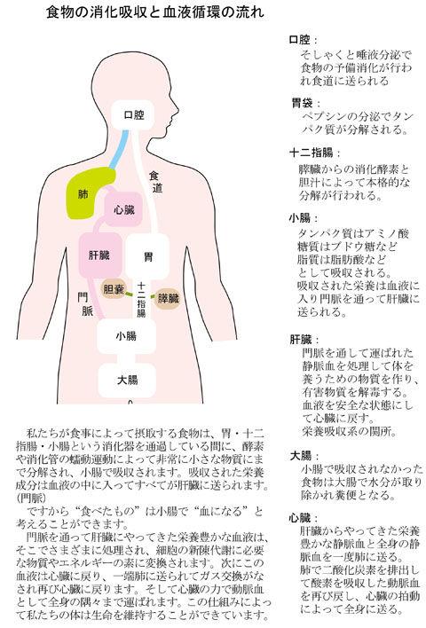 食物の消化吸収と血液循環の流れ