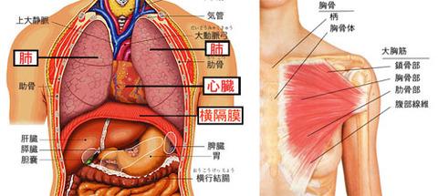心臓と肺と横隔膜と大胸筋jpg
