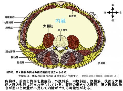 内臓を囲む筋肉
