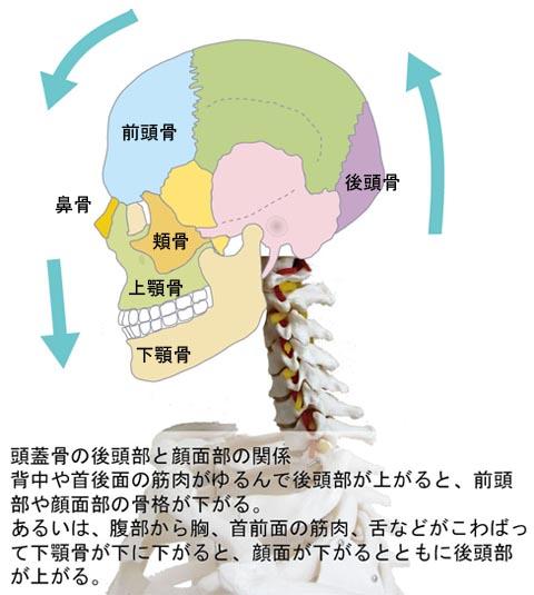 頭蓋骨の後頭部と顔面部の関係