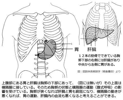 胃と肝臓と骨格との位置関係