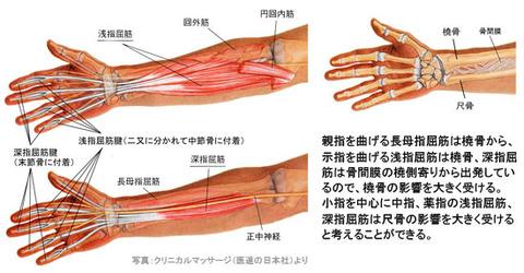 前腕の骨と屈筋