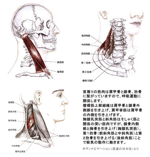 吸息時に働く首周りの筋