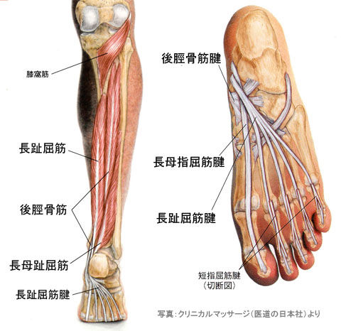 長母指屈筋・長趾屈筋・後脛骨筋