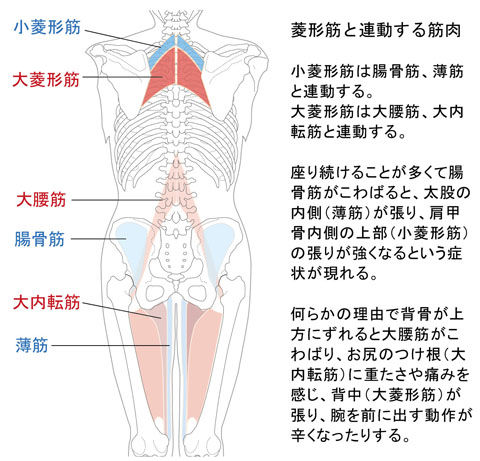 大菱形筋と大内転筋と大腰筋