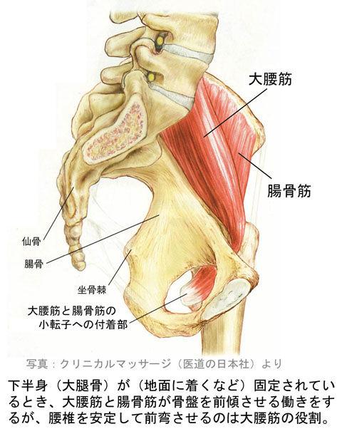 骨盤を前傾する大腰筋と腸骨筋