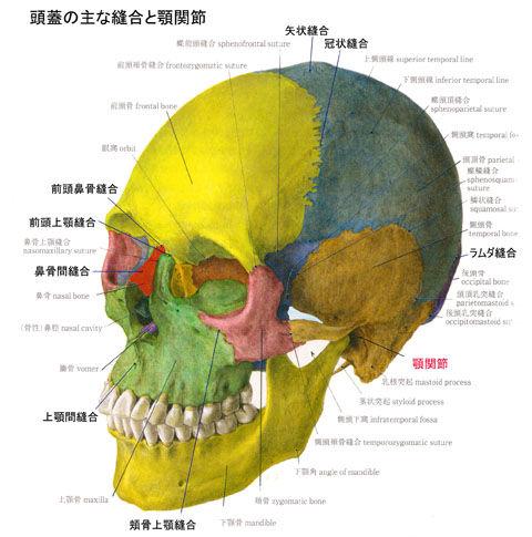 頭蓋の主な縫合01