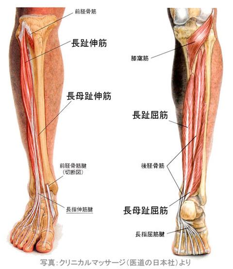 下腿の伸筋と屈筋