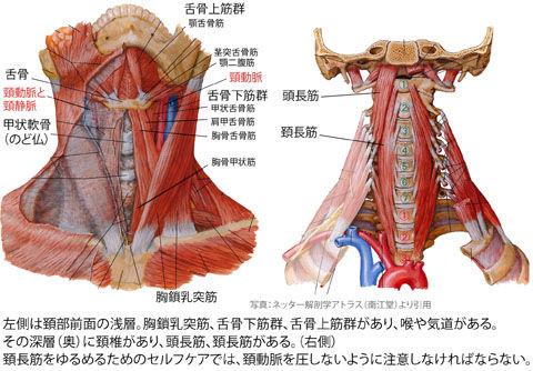 頚部前面と椎前筋2