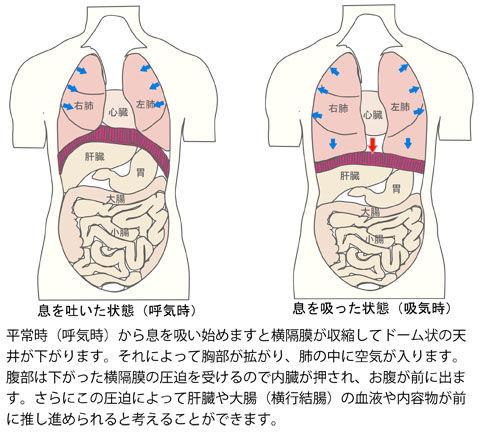 横隔膜の圧迫による肝臓と大腸