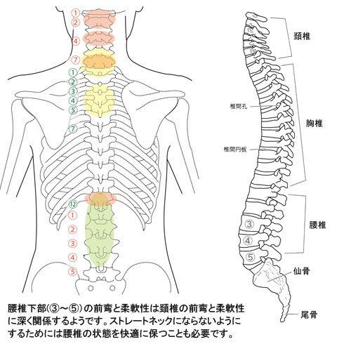 脊椎の弯曲