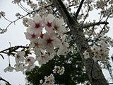 マダムの庭に咲く桜