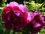 マダムの庭に咲く牡丹